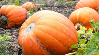 ontario farm fresh pumpkins